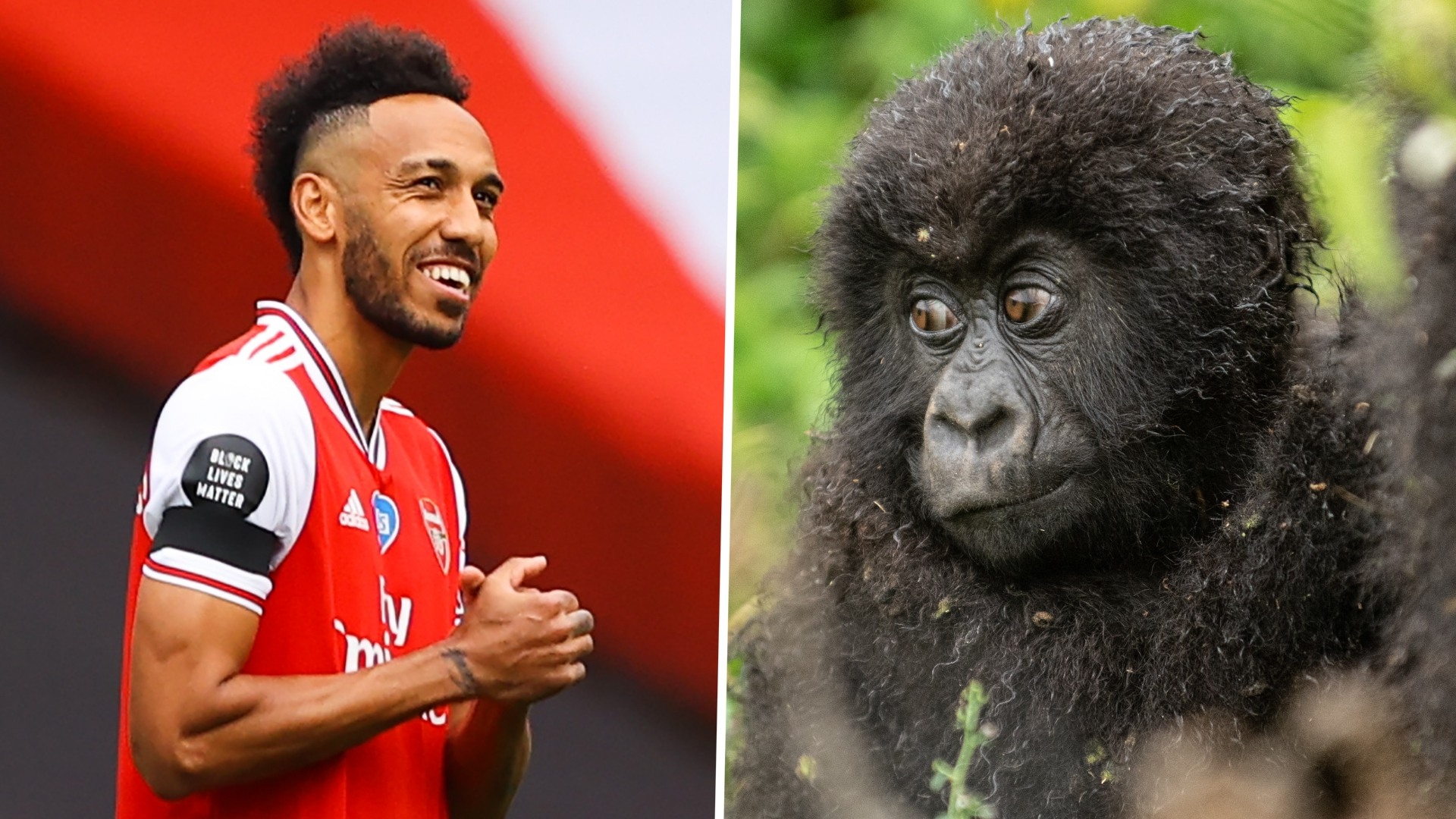 Arsenal stars Aubameyang, Bellerin & Leno name baby gorillas in Rwandan ceremony to promote conservation efforts