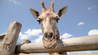 giraffe-041920-getty-ftr.