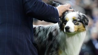 westminster-dog-show-02072020-getty-ftr.jpg