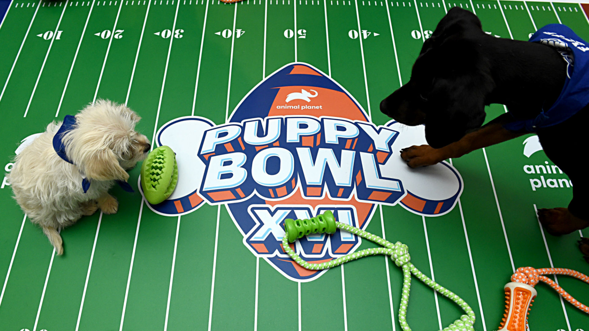 Puppy Bowl 2021 date, start time, TV channel & how to stream the canine competition