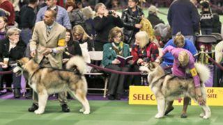 Westminster Dog Show-020316-AP-FTR.jpg