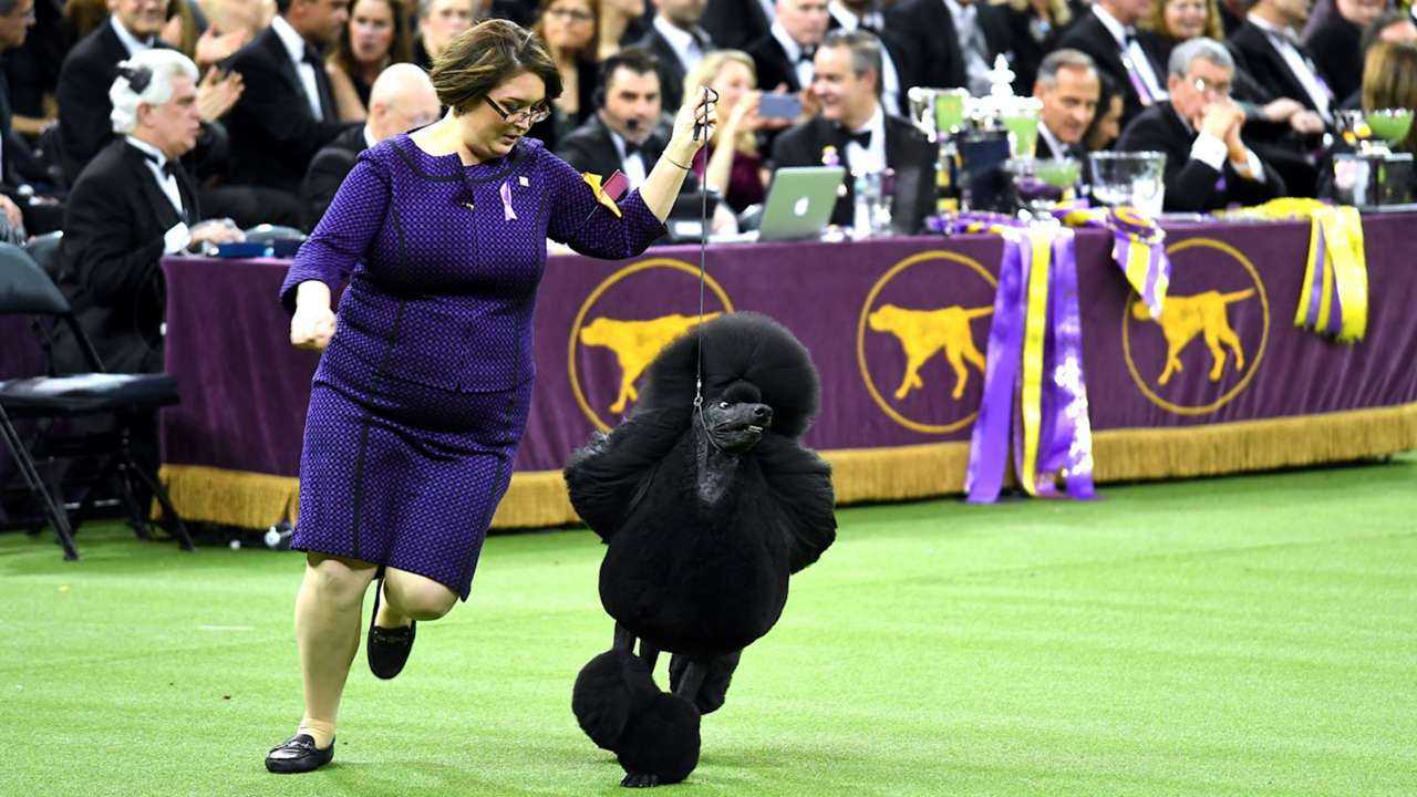 westminster-dog-show-02112020-getty-ftr.jpg