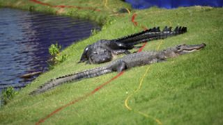 Alligators-052620-GETTY-FTR