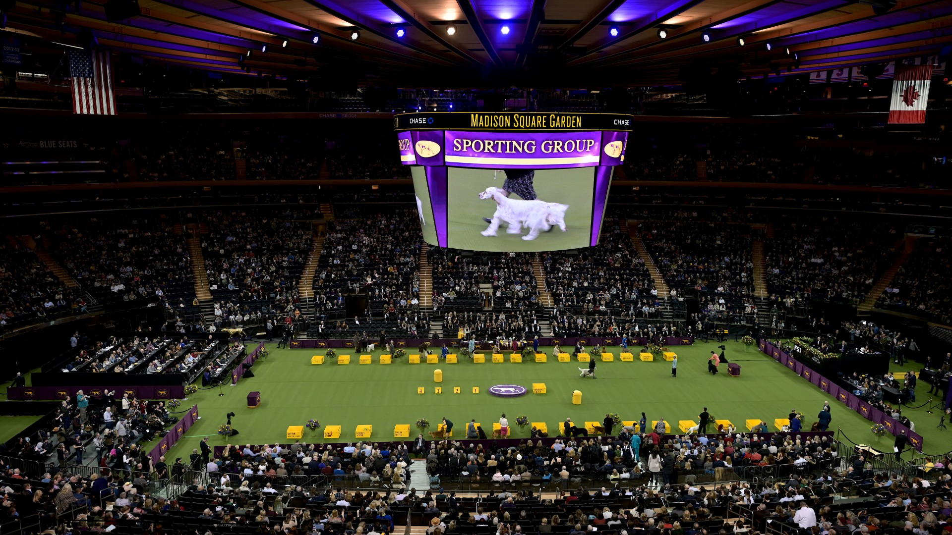Westminster Dog Show: Irish water spaniel removed after outburst at judge
