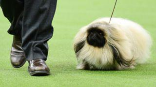 westminster-dog-show-02082020-getty-ftr.jpg